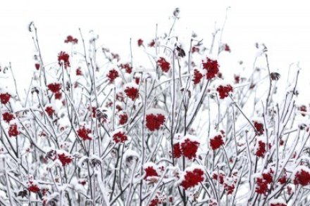 9166728-rowan-berries-covered-with-snow